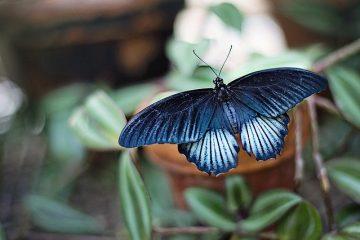 blauwe vlinder op blad